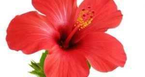 Hibiscus-for-hair-growth