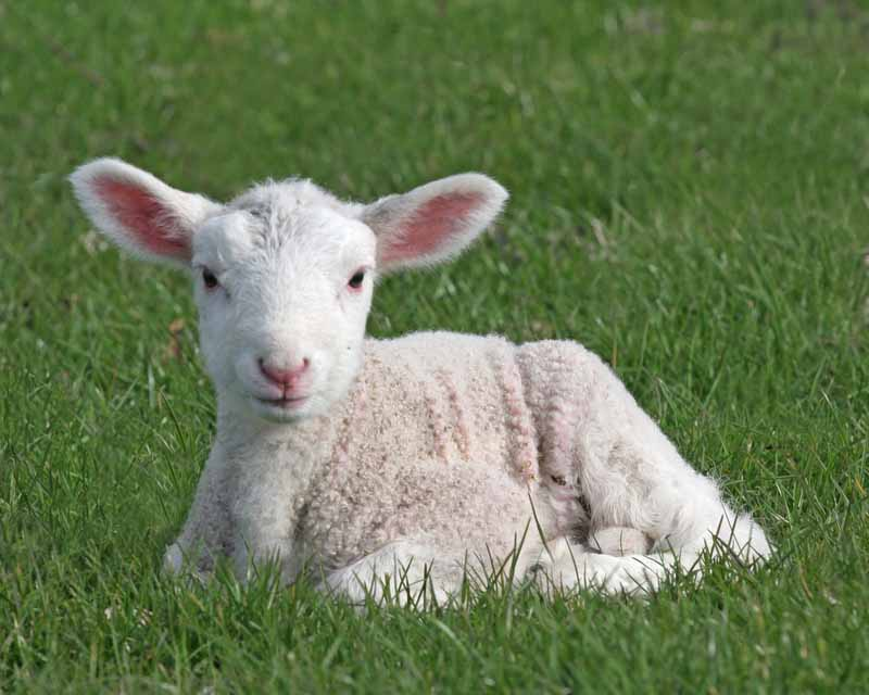 lamb dreams meaning – What Woman Needs